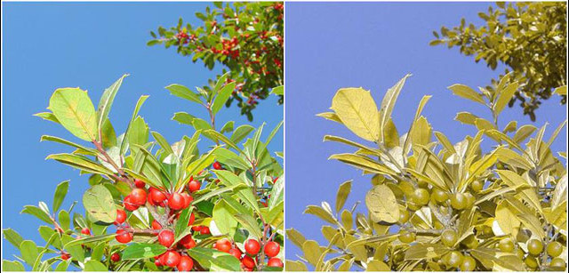 Leaves and Berries colorblind simulation